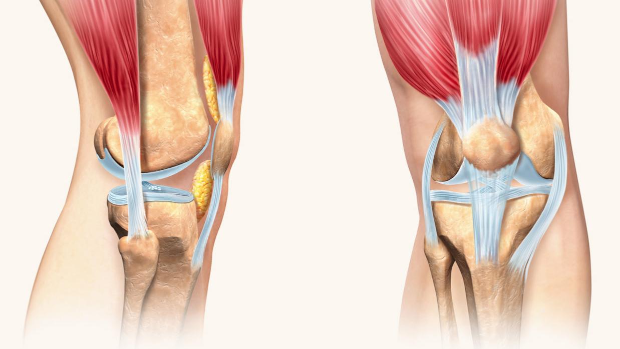 Анатомія коліна